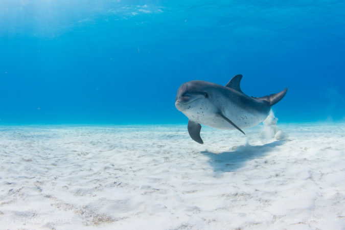 An juvenile Atlantic spotted dolphins in the Bahamas