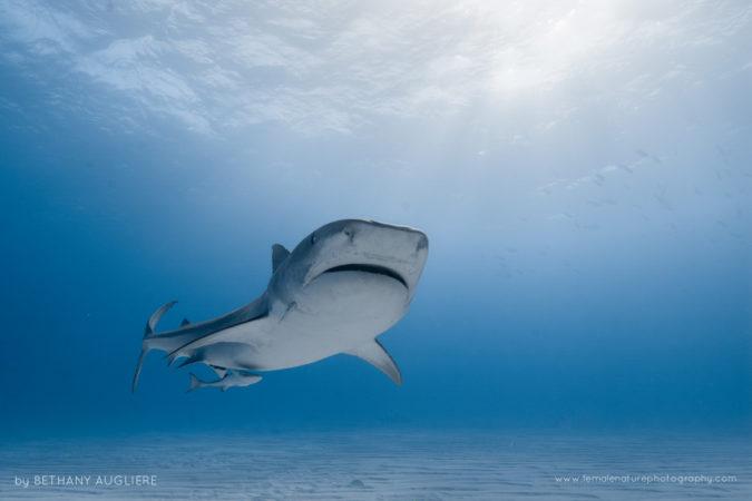 A female tiger shark cruises along the sandy bottom in the Bahamas