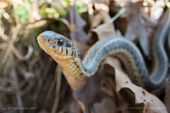 An eastern garter snake emerges on a warm spring day in Northern Virginia