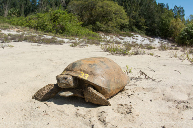 Gopher tortoises are keystone species by digging burrows that more than 350 animals use for shelter.