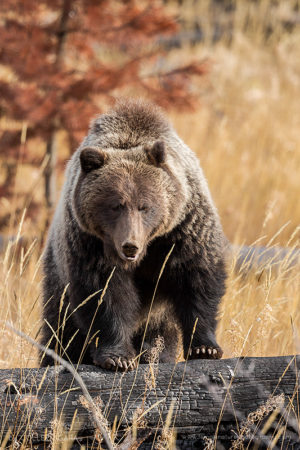 A female Grizzly in autumn colours in the Canadian Rockies