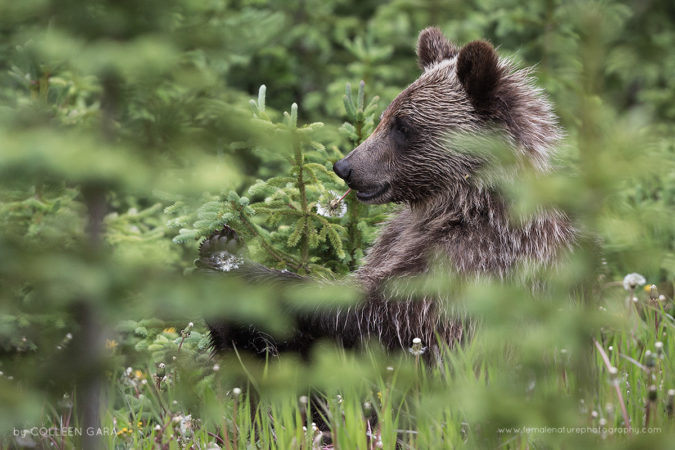 A grizzly bear cub enjoys a moment to eat dandelions and play with her feet in the Canadian Rockies