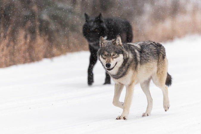 Two wolf siblings on the move in Banff National Park, Alberta, Canada