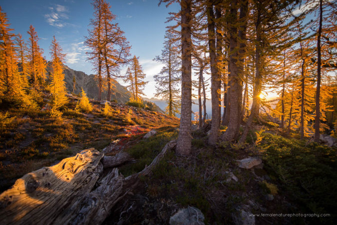 Alpine larch trees, Glacier Peak Wilderness, Washington USA