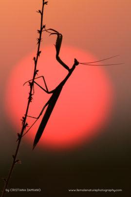 Mantis in the setting sun