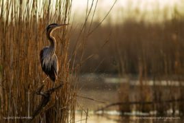 Red heron in the peace of morning