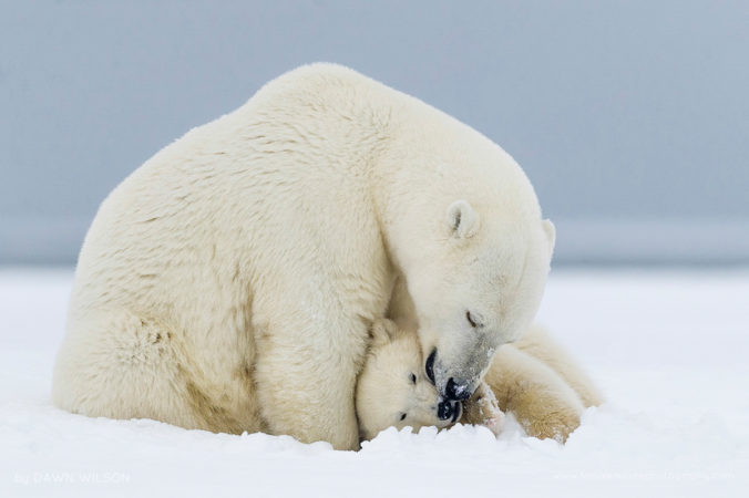 A polar bear sow cuddles up with her cub