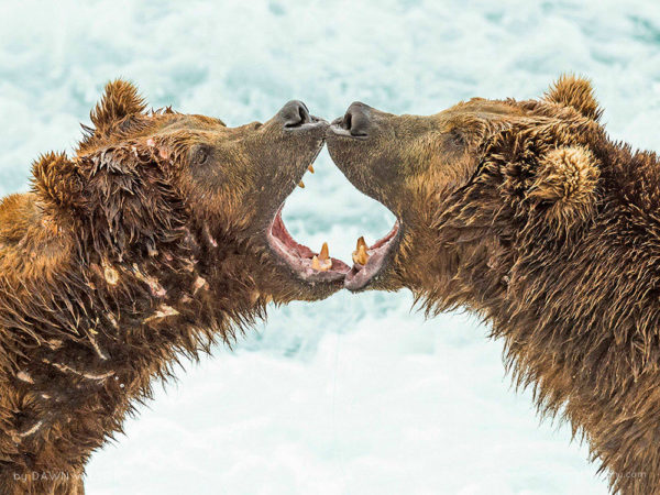 Two brown bears discuss dominance over a fishing hole. Brown bears, McNeil River State Game Sanctuary, Alaska
