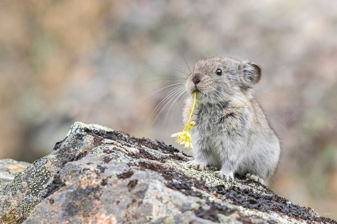 A collared pika holds an alpine flower in his mouth at Hatcher Pass, Alaska.