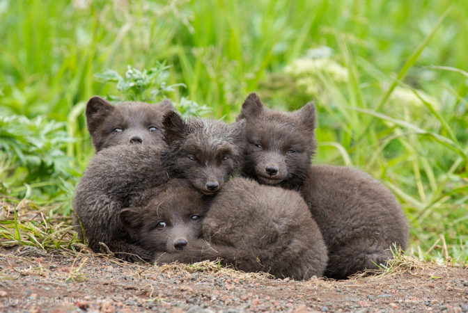 Arctic fox cubs sleeping together to enjoy a nice day in Saint Paul Island, Alaska