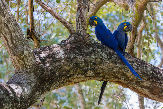 A couple of scarlet macaw near their nest in Pantanal, Brazil