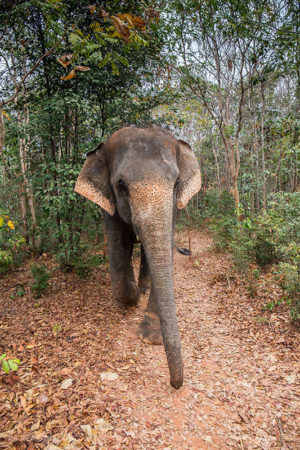 An Asian Elephant roaming free where their belong, in nature