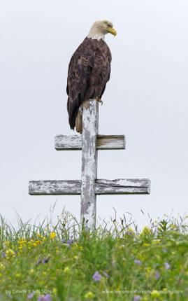 Bald Eagle, Dutch Harbor, Alaska