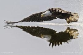 Bald Eagle With Fresh Catch, Longmont, Colorado