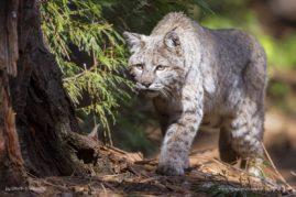 Bobcat, Yosemite National Park, California
