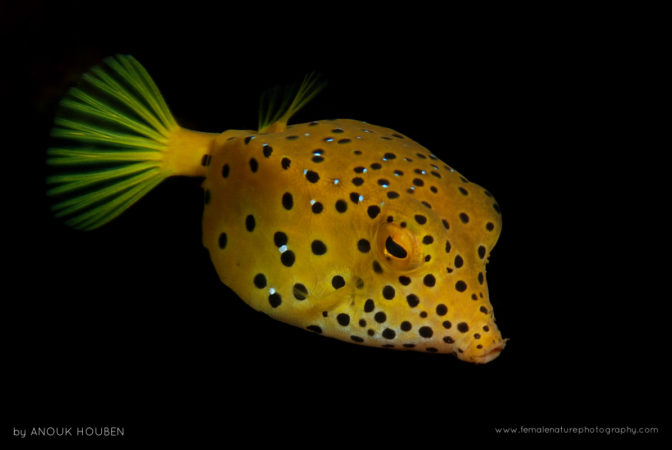 This little boxfish is on its way to adulthood when its bright yellow colour will fade to grey. Tulamben, Bali.