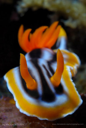 This striking nudibranch can be found on the tropical reefs of the Western Pacific Ocean. Tulamben, Bali.