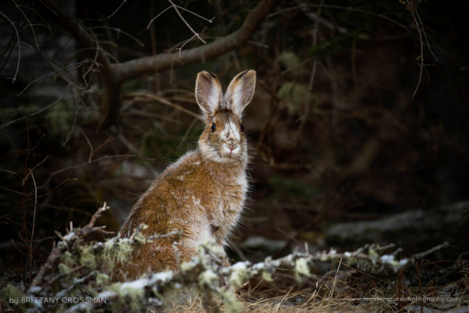 Snowshoe hare in the spring transitioning back to its brown fur coat. Fundy National Park, New Brunswick, Canada