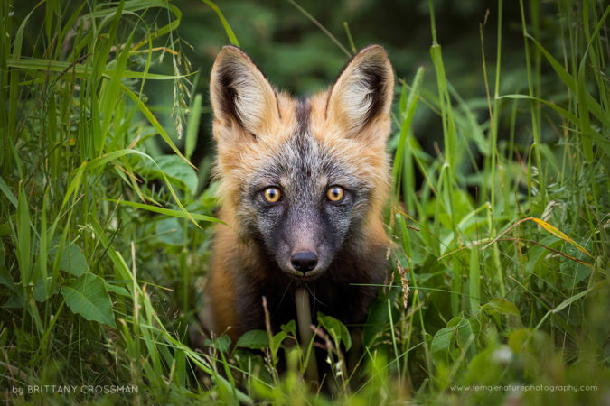 A curious red fox kit, referred to as a cross fox when this pelage colour.  Prince Edward Island, Canada