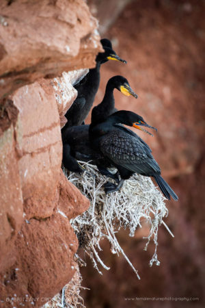 Double crested cormorants nesting on a cliff. Orby Head, PEI, Canada