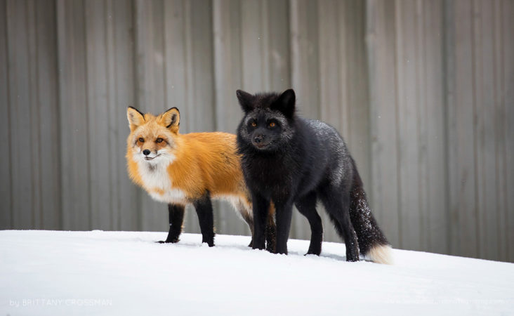 A pair of red foxes, one being a silver fox colour phase. Charlottetown, PEI, Canada