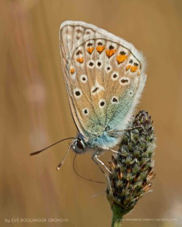 Common Blue (Polyommatus icarus), Pointe du Raz, Brittany (France)