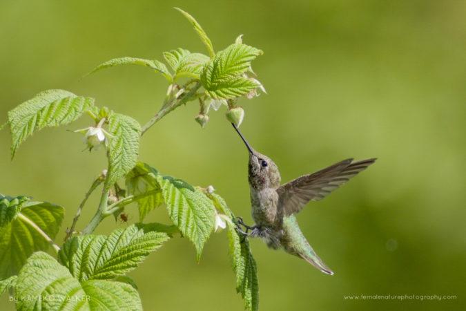 An Anna's Hummingbird drinking nectar