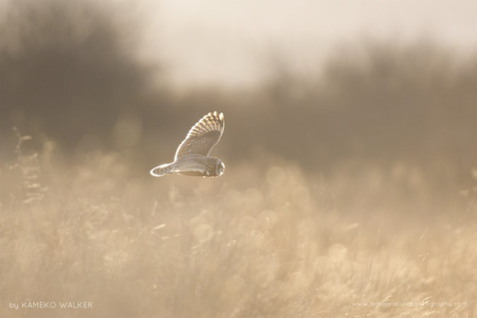 A Short-eared Owl hunting for voles in the sunset