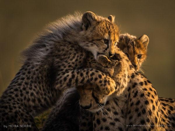 Cheetah Love Cheetah and Cub, Maasai Mara, Kenya