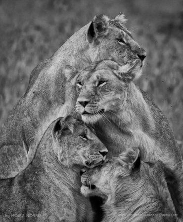 Lion Stack Lions, Maasai Mara, Kenya