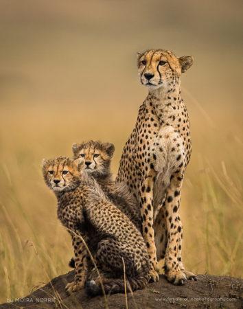 Cheetah Lookout Cheetah and Cubs, Maasai Mara, Kenya
