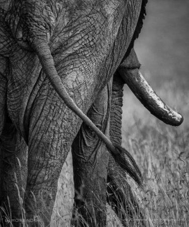 Elephant Rear Elephant, Maasai Mara, Kenya