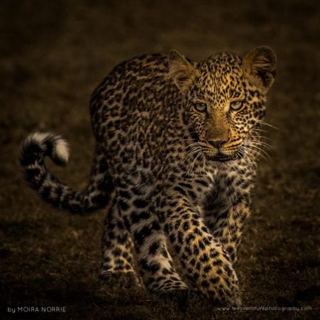 Leopard Cub Leopard Cub, Maasai Mara, Kenya