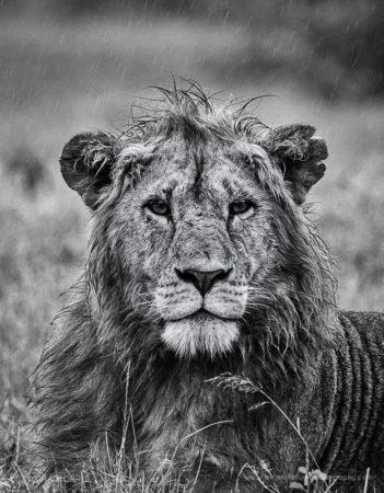 Lion in the Rain Lion, Maasai Mara, Kenya