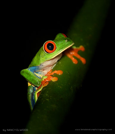 Red-eyed Tree Frog, Fortuna, Costa Rica
