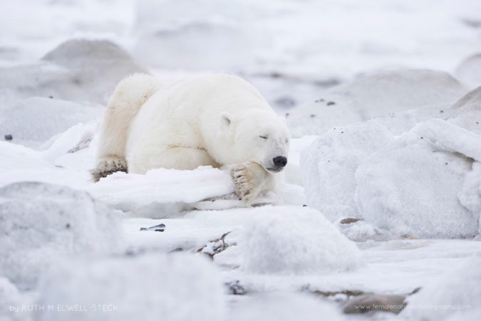 Nap time on the Hudson Bay Polar Bear in Northern Manitoba Canada