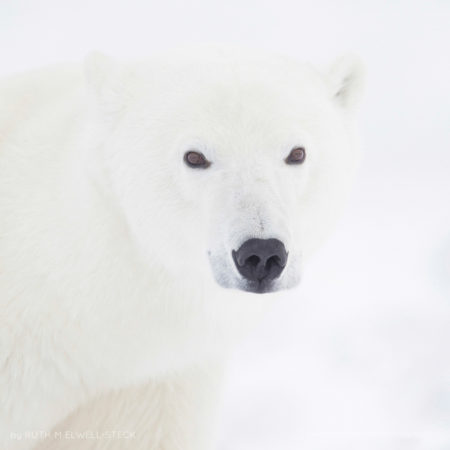 A Polar Bears Point of View Polar Bear in Northern Manitoba Canada