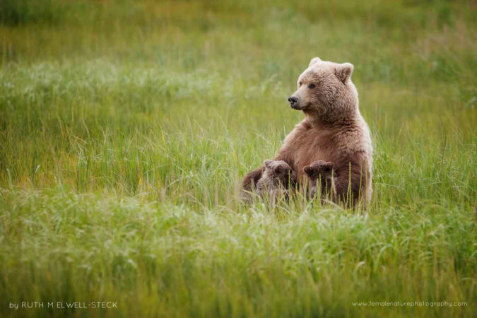 Nursing Mama Coastal Brown Bear in Lake Clark National Park, Alaska
