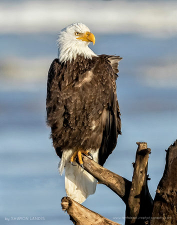 Seaside Beauty Bald Eagle along the ocean in the Pacific Northwest US