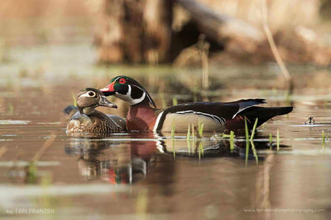 Courtship on the Pond A drake Wood Duck grooms his mate as a show of affection and to enhance the pair bond