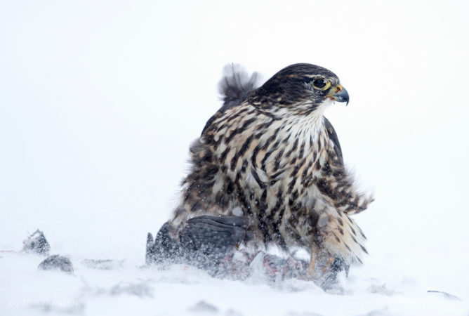 Cold Lunch A Merlin feeding on a captured pigeon on a blustery cold winter day