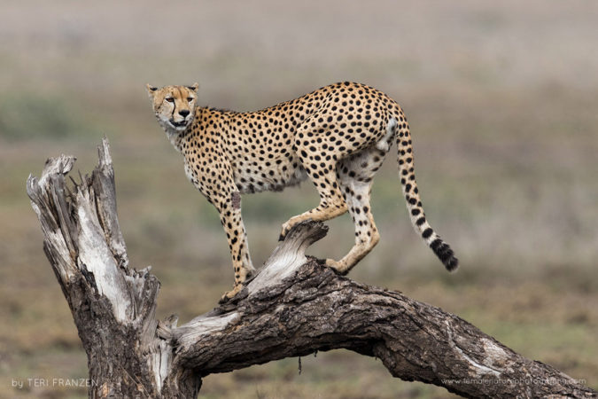 Injured Cheetah A male Cheetah, injured in an attack, uses a dead tree for a higher vantage point from which to call for his lost brother