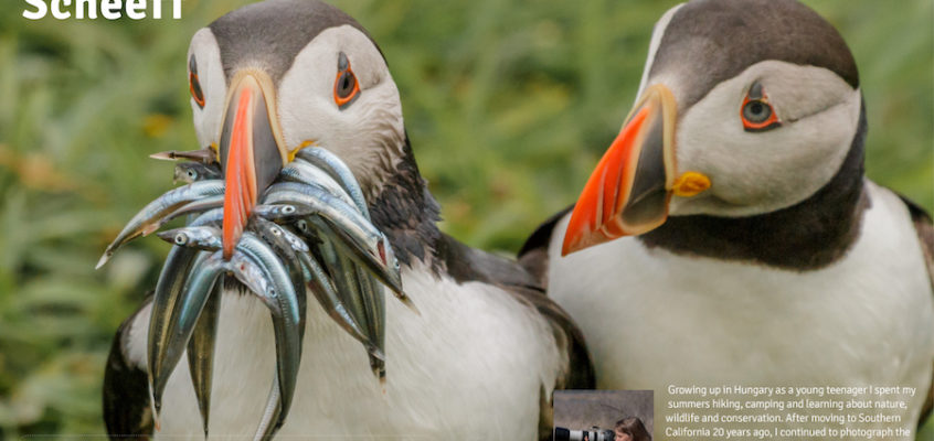Dinner time for puffin in Scotland
