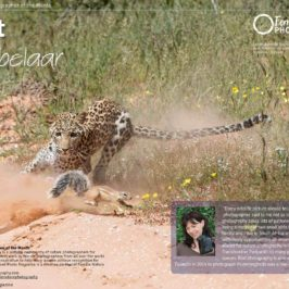 Leopard chasing a ground squirrel