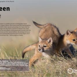 Wild swift fox playing