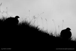 Ptarmigan silhouettes