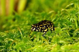 Northern Corroboree Frog, Australia