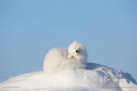 Arctic Fox enjoying a scratch in the Arctic, Canada