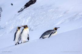 King Penguins on Heard Island, Antarctica
