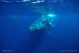 Swimming with Humpback Whales, Tonga